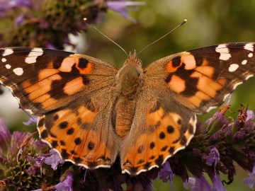 painted_lady_vanessa_cardui